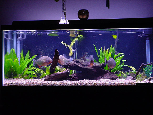Piranha Fish Tank Setup